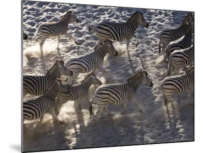 Burchells Zebra, Group Running, Botswana-Mike Powles-Mounted Photographic Print
