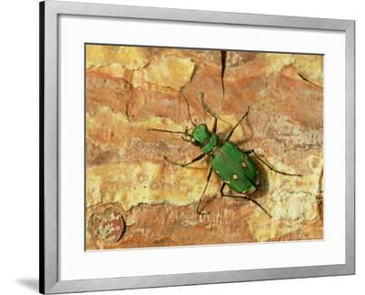 Green Tiger Beetle, Adult on Pine Bark, Scotland-Mark Hamblin-Framed Photographic Print