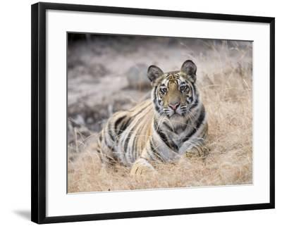 Bengal Tiger, Young Female Lying in Soft Grass, Madhya Pradesh, India-Elliot Neep-Framed Photographic Print