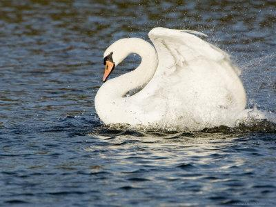 Mute Swan, Splashing During Bathing, UK-Mike Powles-Photographic Print
