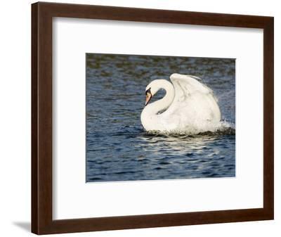 Mute Swan, Splashing During Bathing, UK-Mike Powles-Framed Photographic Print