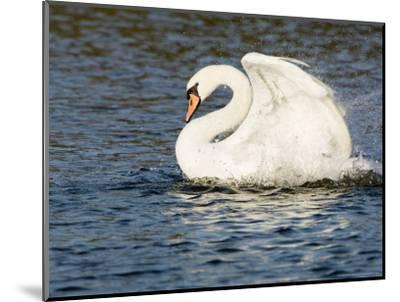 Mute Swan, Splashing During Bathing, UK-Mike Powles-Mounted Photographic Print