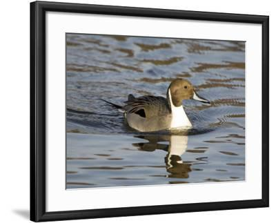 Pintail, Male in Breeding Plumage, UK-Mike Powles-Framed Photographic Print