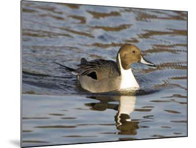 Pintail, Male in Breeding Plumage, UK-Mike Powles-Mounted Photographic Print