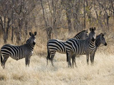 Crawshays Zebra, Small Group in Bush, Tanzania-Mike Powles-Framed Photographic Print