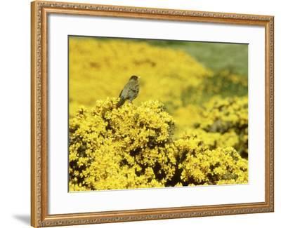 Falkland Thrush, Turdus Falcklandii-Michael Leach-Framed Photographic Print