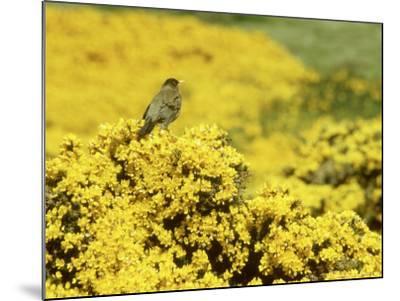 Falkland Thrush, Turdus Falcklandii-Michael Leach-Mounted Photographic Print