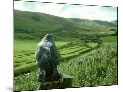 Buzzard, Clwyd-Michael Leach-Mounted Photographic Print