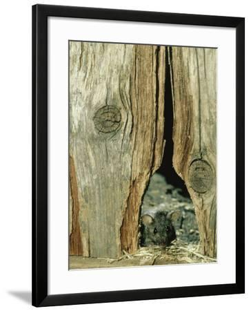 House Mouse-Liz Bomford-Framed Photographic Print
