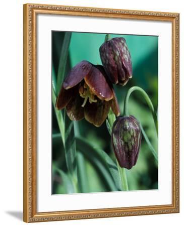 Fritillaria Davisii-Chris Burrows-Framed Photographic Print