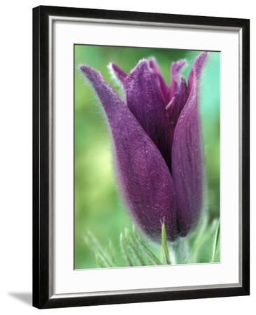 Pulsatilla Halleri Agm, Close-up of Purple Flower-Chris Burrows-Framed Photographic Print