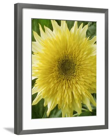 "Helianthus Annuus, ""Starburst Lemon Aura,"" September-Chris Burrows-Framed Photographic Print"