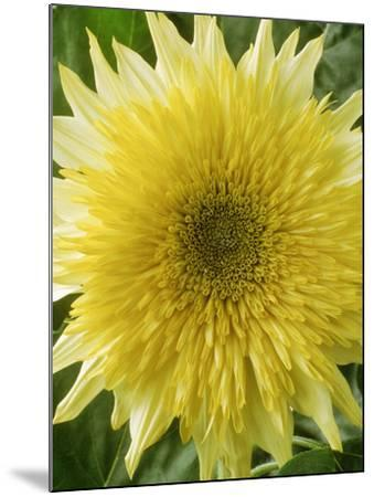 "Helianthus Annuus, ""Starburst Lemon Aura,"" September-Chris Burrows-Mounted Photographic Print"