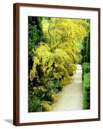 Bright Yellow Flowering Spiny Shrub Genista Syn. Chamaespartium (Broom), Oxfordshire Garden-David Dixon-Framed Photographic Print