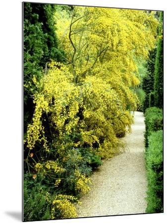 Bright Yellow Flowering Spiny Shrub Genista Syn. Chamaespartium (Broom), Oxfordshire Garden-David Dixon-Mounted Photographic Print