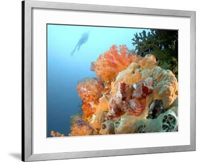 Bearded Scorpion Fish on Coral, Indonesia-Mark Webster-Framed Photographic Print