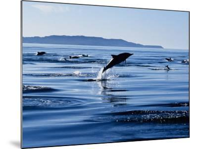 Long-Nosed Common Dolphin, Porpoising, Sea of Cortez-Gerard Soury-Mounted Photographic Print