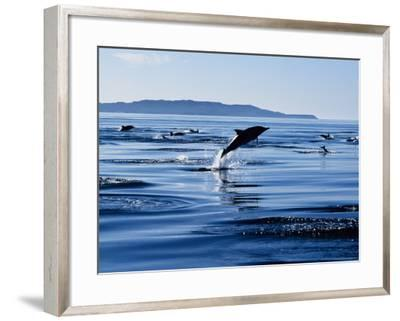 Long-Nosed Common Dolphin, Porpoising, Sea of Cortez-Gerard Soury-Framed Photographic Print