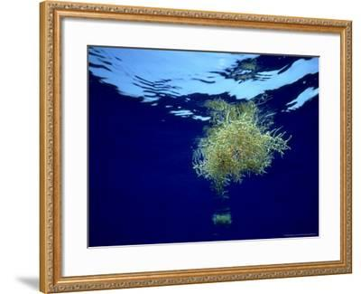 Sargassum Weed, Bermuda-Laurence Gould-Framed Photographic Print