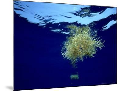 Sargassum Weed, Bermuda-Laurence Gould-Mounted Photographic Print