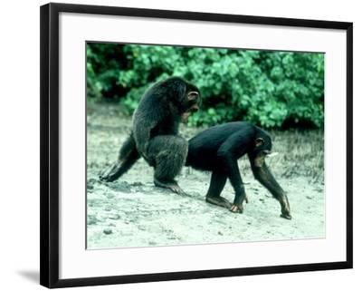 Common Chimpanzee, Mating, Africa-Clive Bromhall-Framed Photographic Print