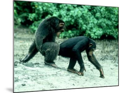 Common Chimpanzee, Mating, Africa-Clive Bromhall-Mounted Photographic Print