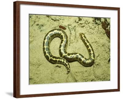 Kenyan Sand Boa, East Africa-Andrew Bee-Framed Photographic Print