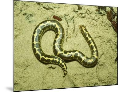 Kenyan Sand Boa, East Africa-Andrew Bee-Mounted Photographic Print