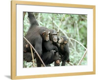 Chimpanzees, Chimp Family, W. Africa-Mike Birkhead-Framed Photographic Print