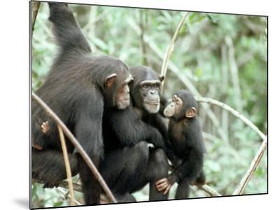 Chimpanzees, Chimp Family, W. Africa-Mike Birkhead-Mounted Photographic Print