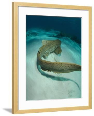 Leopard Shark, Swimming Away Over Sand Bottom with Coral Rubble, New Caledonia-Tobias Bernhard-Framed Photographic Print