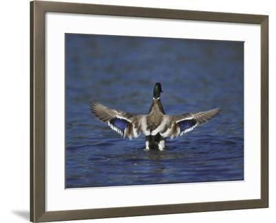 Mallard-Mark Hamblin-Framed Photographic Print