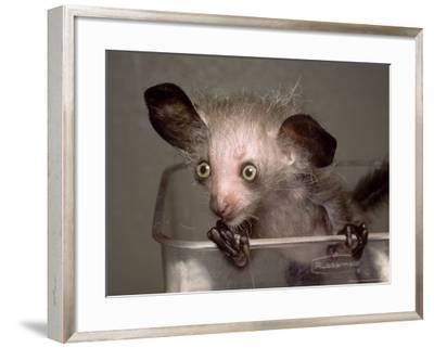 Hand-Reared Aye-Aye in Container Looking Around, Duke University Primate Center-David Haring-Framed Photographic Print