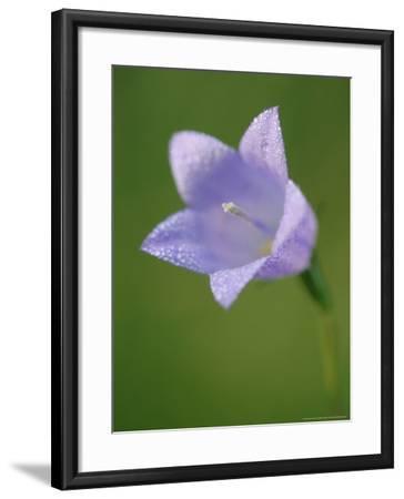 Harebell, Close up of Flower, Scotland-Mark Hamblin-Framed Photographic Print