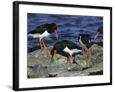 Oystercatcher, Pair Displaying on Rock, Scotland-Mark Hamblin-Framed Photographic Print