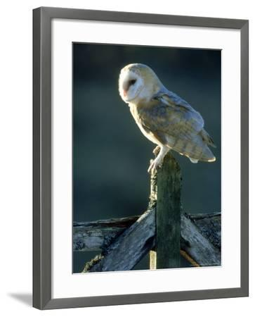 Barn Owl-Mark Hamblin-Framed Photographic Print