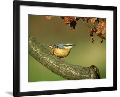 Nuthatch, Sitta Europaea Perched on Log in Autumn UK-Mark Hamblin-Framed Photographic Print