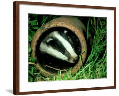 Badger, Young, UK-Les Stocker-Framed Photographic Print