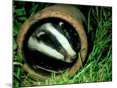 Badger, Young, UK-Les Stocker-Mounted Photographic Print