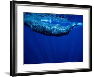 Sperm Whale, Juvenile, Portugal-Gerard Soury-Framed Photographic Print