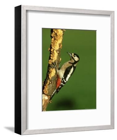 Great Spotted Woodpecker, Portrait-Mark Hamblin-Framed Photographic Print