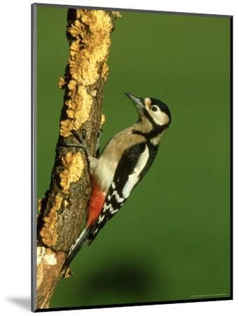 Great Spotted Woodpecker, Portrait-Mark Hamblin-Mounted Photographic Print