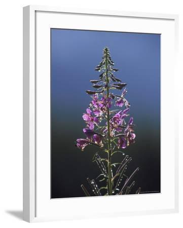 Rosebay Willowherb, Flower Spike, Close-up, UK-Mark Hamblin-Framed Photographic Print