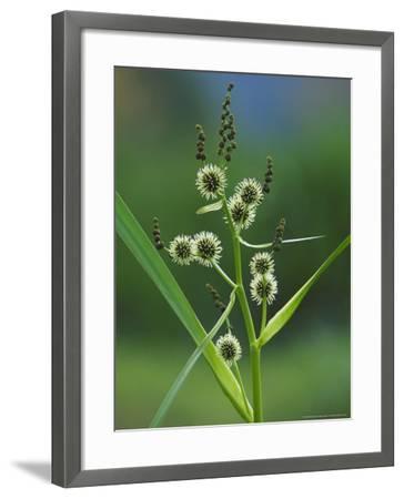 Branched Bur-Reed, Showing Bur-Like Fruits, UK-Mark Hamblin-Framed Photographic Print