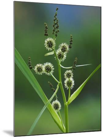 Branched Bur-Reed, Showing Bur-Like Fruits, UK-Mark Hamblin-Mounted Photographic Print