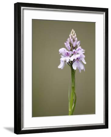 Heath Spotted Orchid, Spike, UK-David Clapp-Framed Photographic Print