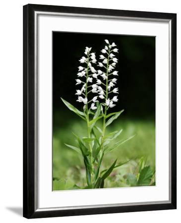 Sword-Leaved Helleborine, Hampshire, UK Rare in the UK-David Clapp-Framed Photographic Print