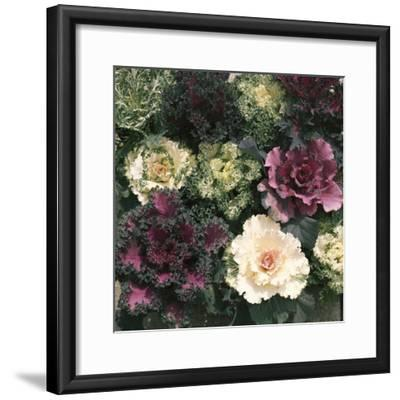 Ornamental Cabbage, Mixed Autumn and Winter-Michele Lamontagne-Framed Photographic Print
