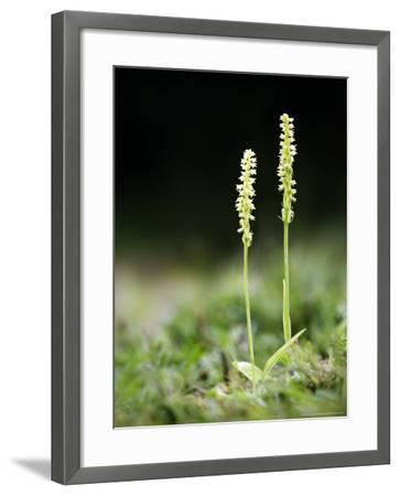 Musk Orchid, Kent, UK-David Clapp-Framed Photographic Print