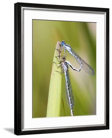 Common Damselfly, Male and Female Pre Wheel Position, UK-Mike Powles-Framed Photographic Print